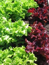 Food - red-green leaf lettuce